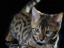 FairyWitch BB Bengal
