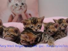 Fairy Witch Bengal nos 1er BB  Gus - Farah 09/06/2013