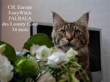 G. CH. Europe FairyWitch FALBALA des Looney Coons  34 mois
