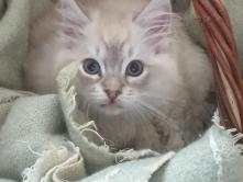 PACHA, futur male reproducteur bleu tabby mitted