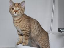Leela, 3 mois, chocolat tortie tabby spotted