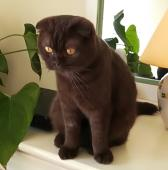 Maman Scottish Fold chocolat
